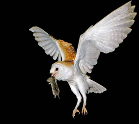 Barn Owl catching prey. Photo Amir Ezer
