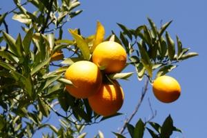 oranges blue sky