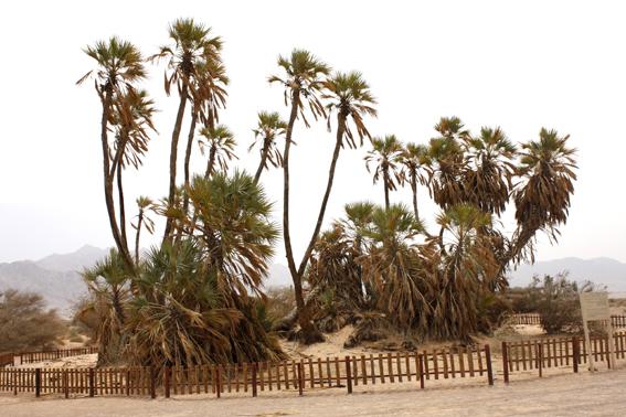 doum palms sm.jpg