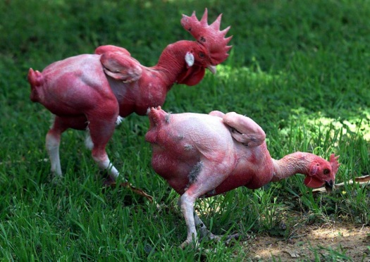 20111101-featherless chickens.jpg