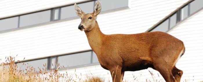 A-female-huemul-an-endemic-Chilean-deer-next-to-explora-Patagonia-mgv0bz0smox61y1qqrmcw7z7hko0ce3hspx8dnd8y0.jpg